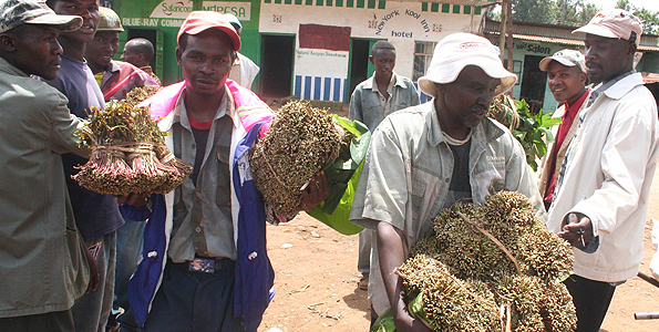 Meru's Miraa And Uhuru Kenyatta's Lies On Sanctions