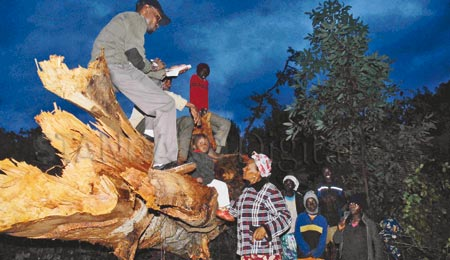 Fall Of Mugumo Tree A Bad Omen For Uhuru's Candidacy