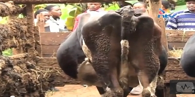Oops They Did It Again: Man Arrested For Doing Museveni's Cow In Kiambu