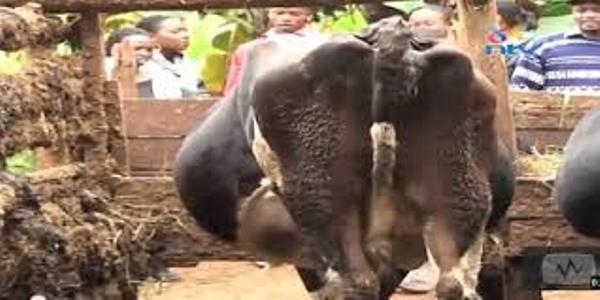50-year old Embu man nabbed defiling a cow
