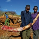 SHOCK: Karanja Muchemi is the mastermind of  POACHING Elephants in Masai Mara