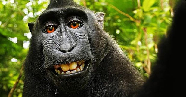 MONKEY SELFIE Photo sparks big Legal battle, who owns the selfie? monkey, owner of the camera or nobody?
